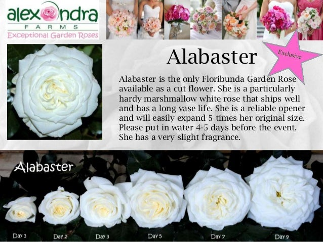 ... KeiraBeatrice; 16. 16 Alabaster Is The Only Floribunda Garden Rose ...