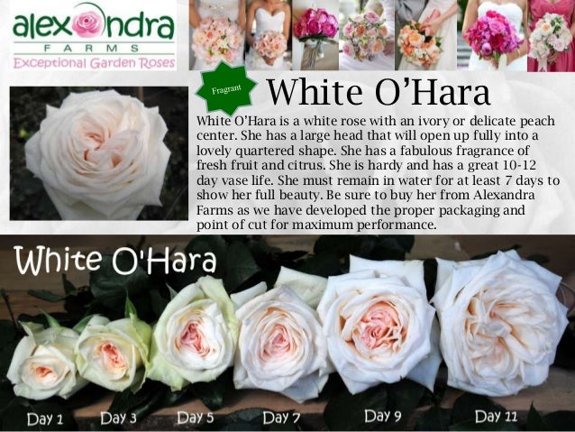 White Cloud; 43. 43 White Ou0027Hara ...