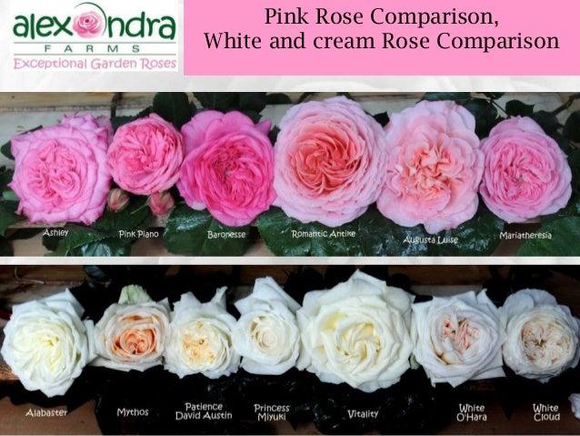 wedding garden rose guide 2015