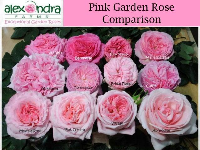 ... 47 Pink Garden Rose Comparison ...