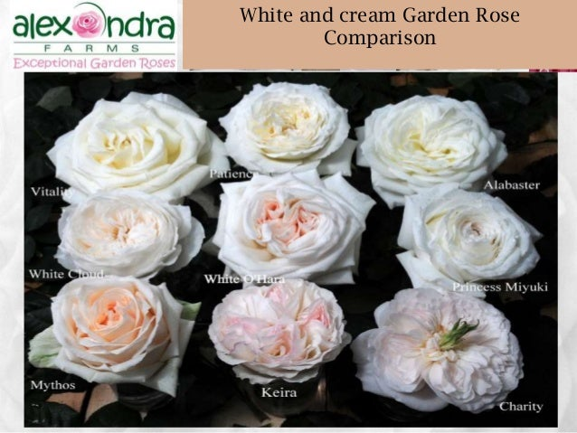 garden rose comparison 48 wwwalexandrafarmscom 48 white - White Garden Rose