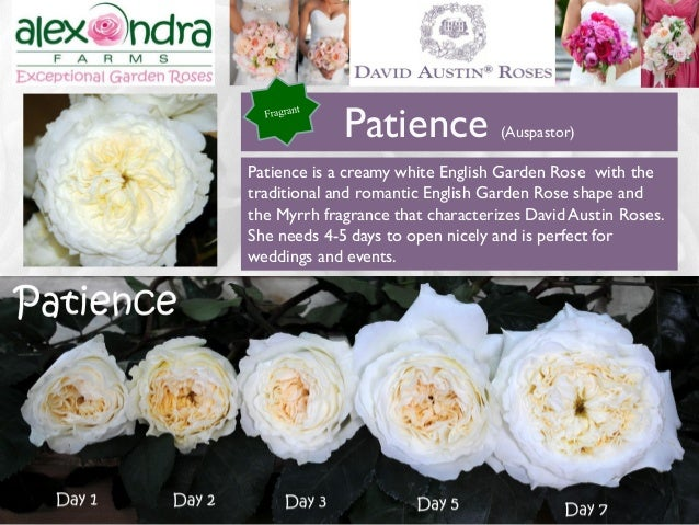 12 12 patience is a creamy white english garden rose