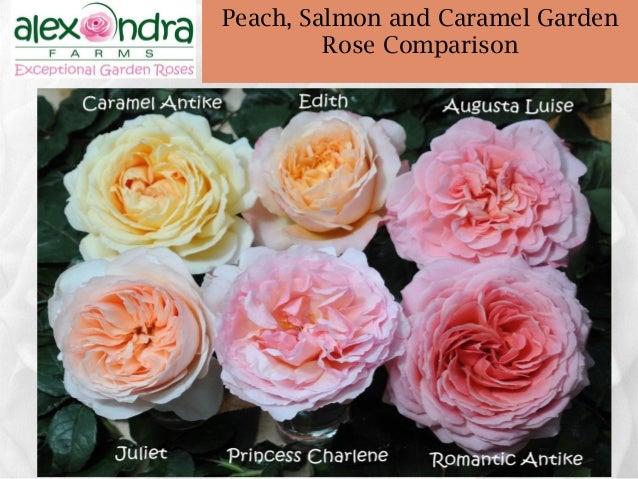 ... Garden Rose Comparison; 49. Www.alexandrafarms.com 49 Peach ...
