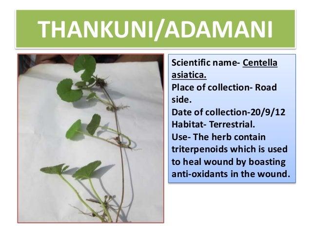 amaranthus viridis medicinal uses pdf