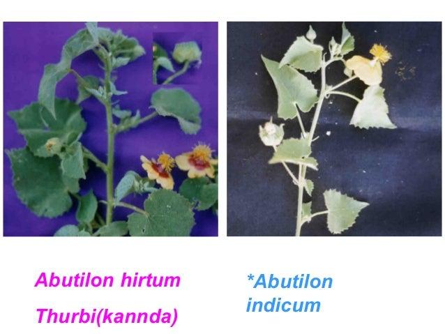 Abutilon hirtum  Thurbi(kannda)  *Abutilon  indicum