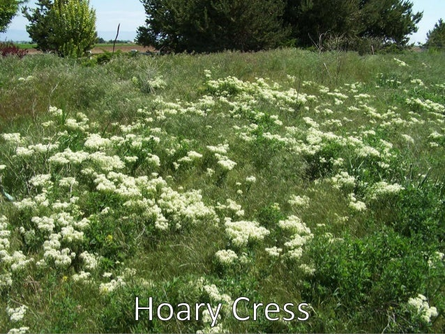 Weeds of utah tall white topperennialpepperweed mightylinksfo Choice Image
