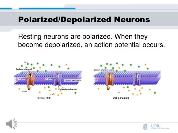 a look at the various depolarization levels of neurons Depolarization occurs when the nerve a cell becomes polarized by moving and storing different types of electrically-charged neurons pump sodium ions.