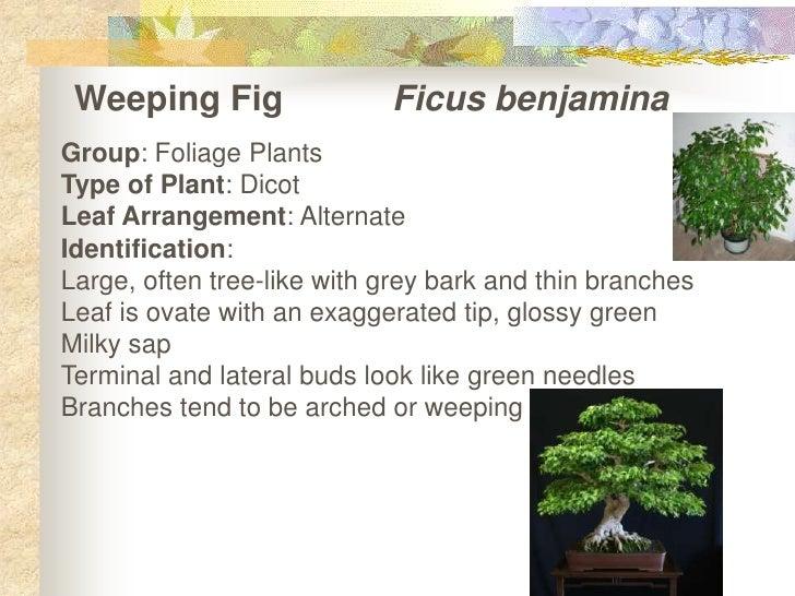 Weeping FigFicusbenjamina<br />Group: Foliage Plants<br />Type of Plant: Dicot<br />Leaf Arrangement: Alternate<br />Ide...