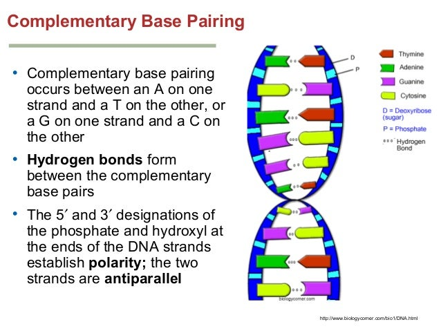 deoxyribonucleic acid essay Deoxyribonucleic acid and ribonucleic acid are two chemical substances involvedin transmitting genetic information from parent to offspring it was known earlyinto.