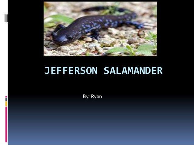 JEFFERSON SALAMANDER      By. Ryan