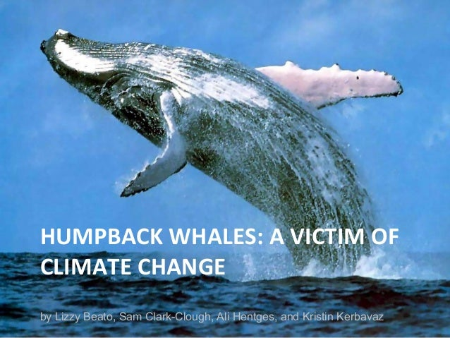 HUMPBACK WHALES: A VICTIM OF CLIMATE CHANGE by Lizzy Beato, Sam Clark-Clough, Ali Hentges, and Kristin Kerbavaz