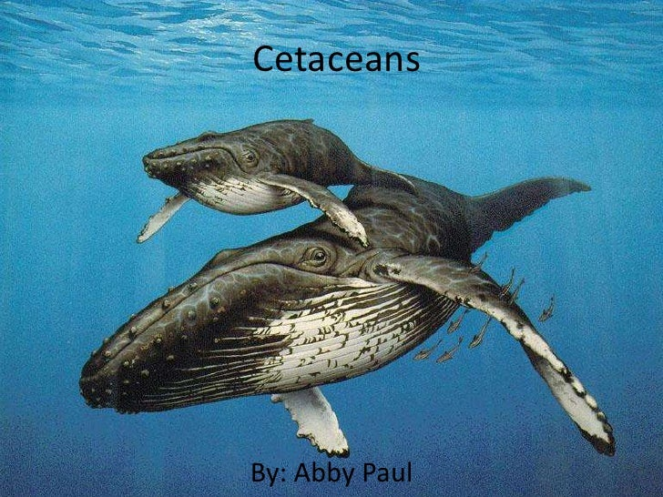 Cetaceans     By: Abby Paul