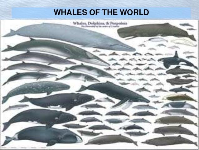 What is the Largest Whale? A Cetacea Size Comparison Chart ...