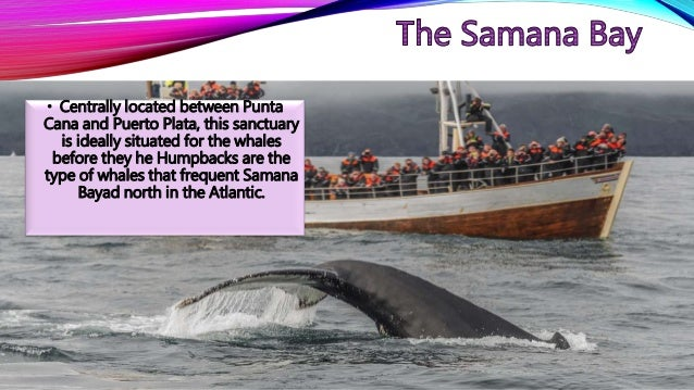 • Centrally located between Punta Cana and Puerto Plata, this sanctuary is ideally situated for the whales before they he ...