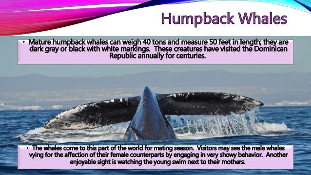 • Mature humpback whales can weigh 40 tons and measure 50 feet in length; they are dark gray or black with white markings....