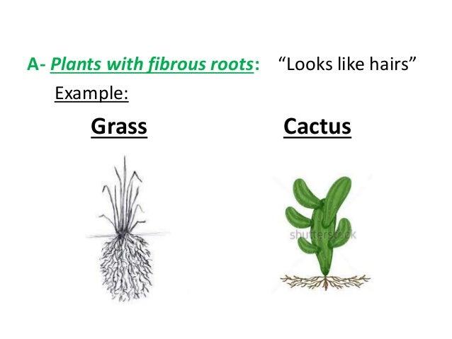 Fibrous root system plants | tutorvista.