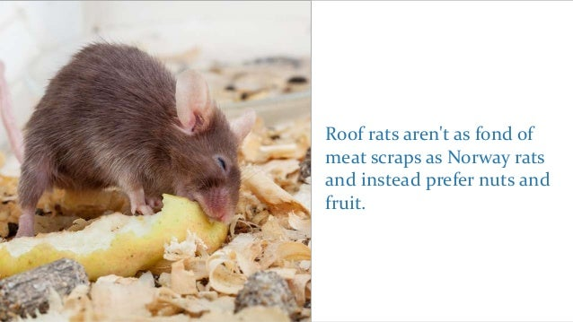 What Are Roof Rats and How Do You Eliminate Them