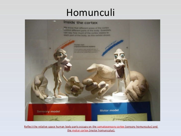 What Does The Motor Homunculus Do