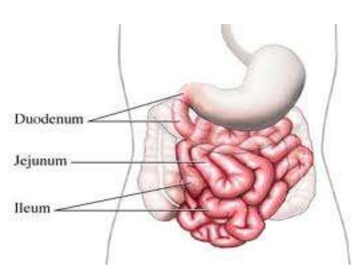 what specialised feature of small intestine account for, Cephalic Vein