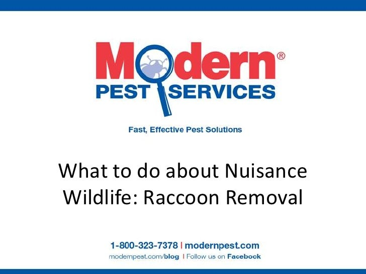 What to do about NuisanceWildlife: Raccoon Removal