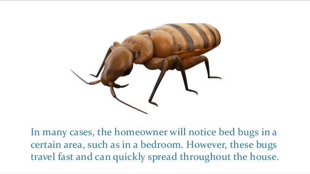 types of bed bugs