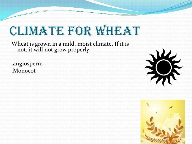 Wheat!!!!!! andrew Slide 3