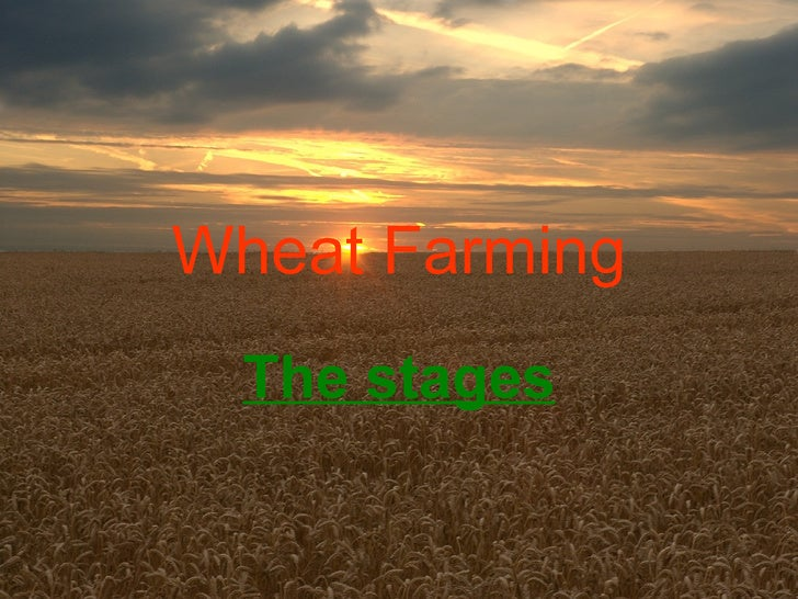 Wheat Farming The stages