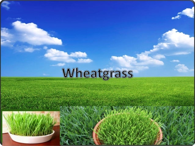 ContentsIntroductionHistory about wheat grassproductionBenefitsOrganic component in wheat grassImportant parts of wheat gr...