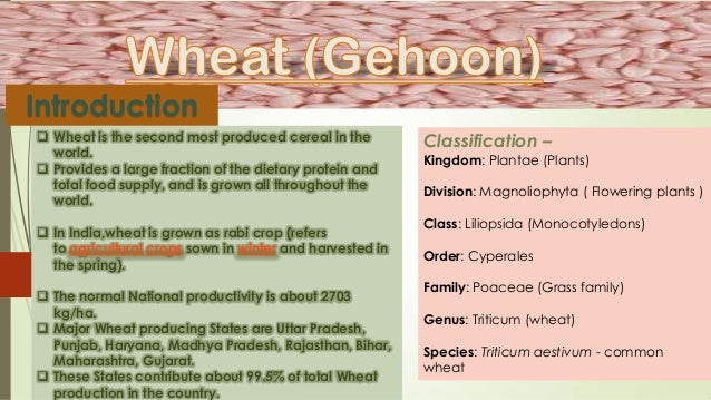 the history and importance of the cultivation of wheat Cultivated forms of diploid, tetraploid, and hexaploid wheat all have a tough rachis apart from the spelt form of bread wheat similarly, the early domesticated forms of einkorn, emmer, and spelt are all hulled, whereas modern forms of tetraploid and hexaploid wheat are free-threshing.