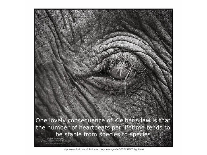 One lovely consequence of Kleibers law is thatthe number of heartbeats per lifetime tends to      be stable from species t...