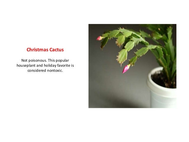 Are Christmas Cactus Poisonous.Which Holiday Plants Are Really Poisonous