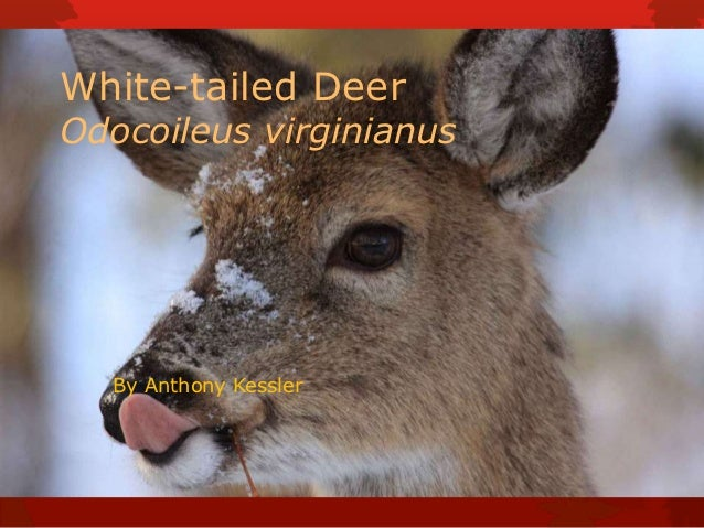 White-tailed DeerOdocoileus virginianus  By Anthony Kessler