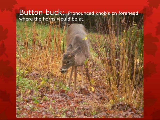 Button buck:        Pronounced knobs on foreheadwhere the horns would be at.
