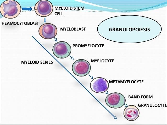 Super White Blood Cells Wiring Database Liteviha4X4Andersnl