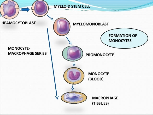 Marvelous White Blood Cells Wiring Database Liteviha4X4Andersnl
