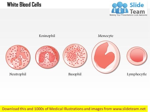 Neutrophil Eosinophil Basophil Monocyte Lymphocytle White Blood Cells