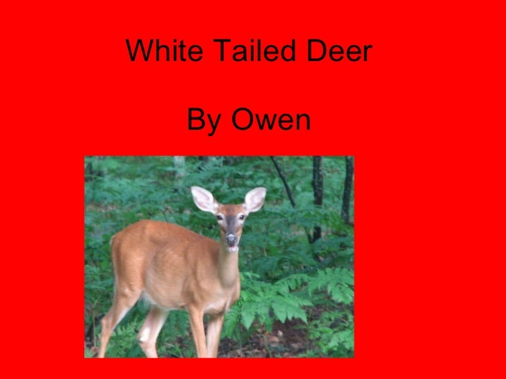 White Tailed Deer By Owen