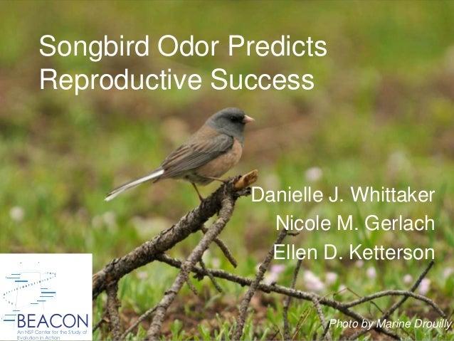 Songbird Odor Predicts Reproductive Success Danielle J. Whittaker Nicole M. Gerlach Ellen D. Ketterson BEACONAn NSF Center...