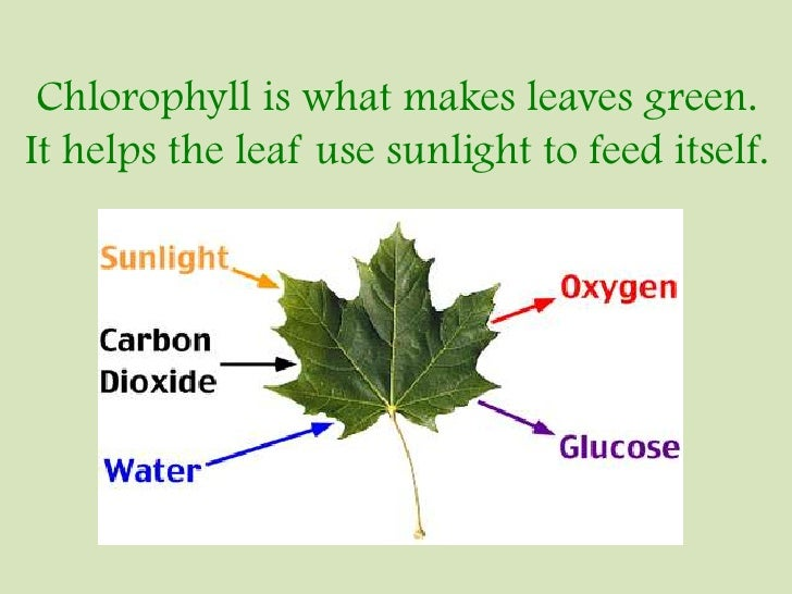 What Makes A Leaf Green
