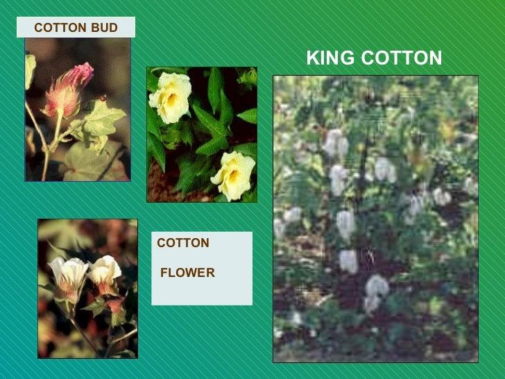 KING COTTON COTTON BUD COTTON    FLOWER