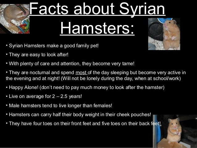 The Gestation of SyrianGolden Hamster Babies  Animals