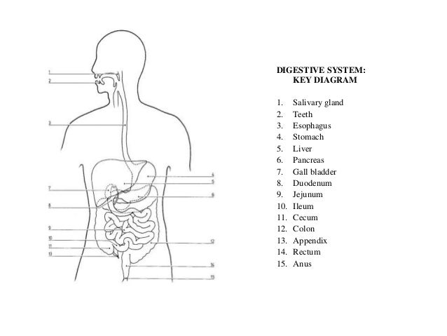 Wiki anatomical structures ppt digestive system key diagram1 ccuart Images