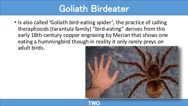 """• Is also called 'Goliath bird-eating spider'; the practice of calling theraphosids (tarantula family) """"bird-eating"""" deriv..."""