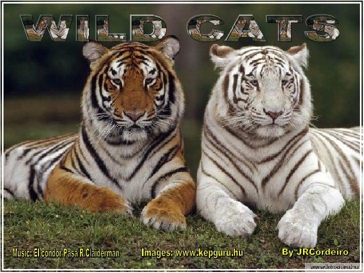 By JRCordeiro Music: El condor Pasa/R.Claiderman Images: www.kepguru.hu WILD CATS