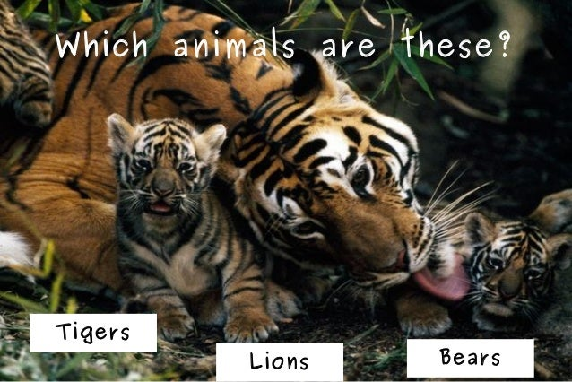 Which animals are these?  Tigers  Lions  Bears