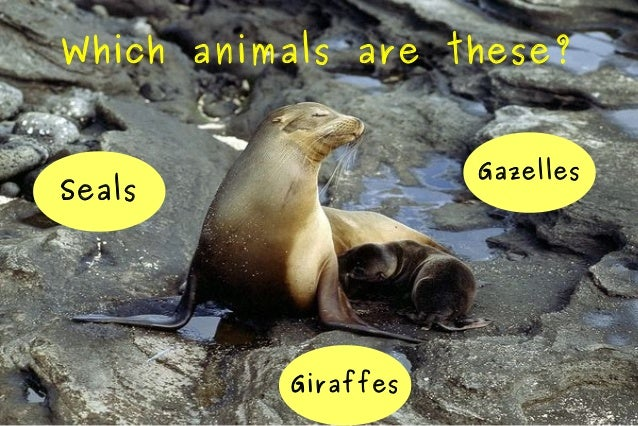 Which animals are these? Gazelles  Seals  Giraffes