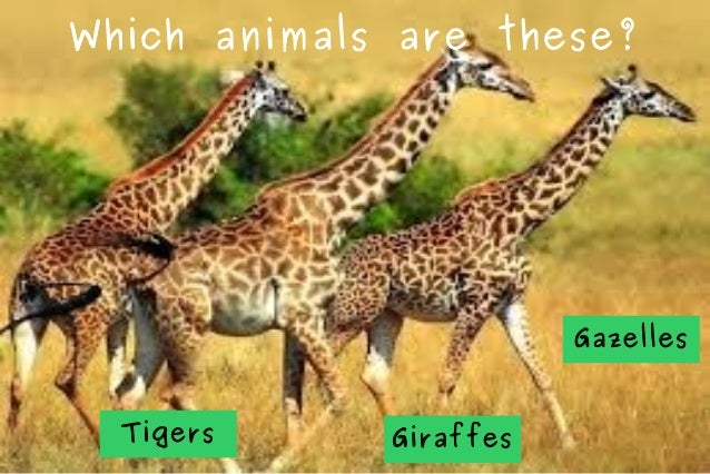 Which animals are these?  Gazelles Tigers  Giraffes