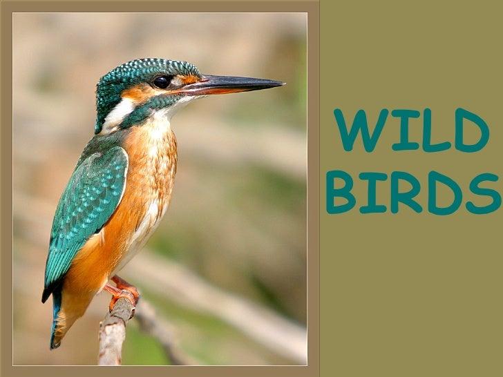 BIRDS WILD