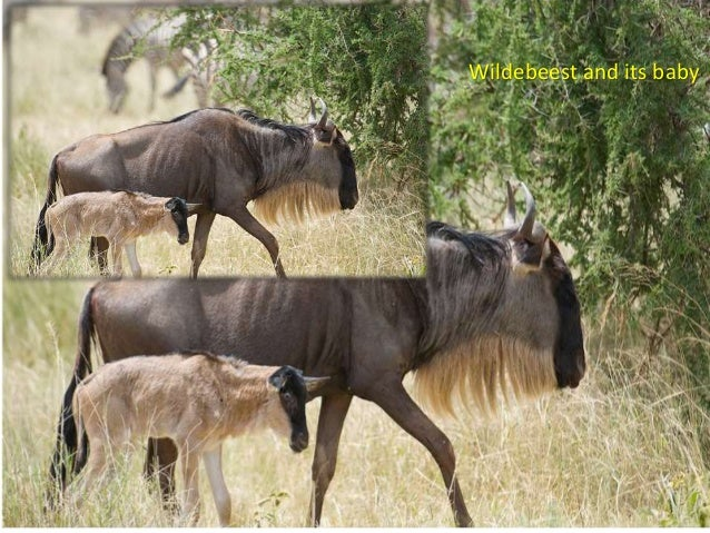 Wildebeest and its baby