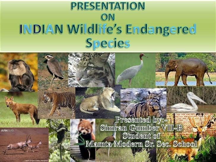 PRESENTATION <br />ON <br />INDIAN Wildlife's Endangered Species<br />Presented by:-<br />SimranGumberVII-B<br />Student o...